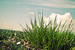 Green grass and the blue sky. A bunch of new green grass with the sky and clouds over it Royalty Free Stock Photos