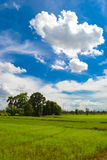 Rice field and blue sky. Green dry rice field with blue sky and white clouds. A beautiful summer day Royalty Free Stock Images