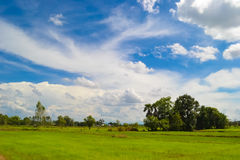 Green grass and blue sky. Green dry rice field with blue sky and white clouds. A beautiful summer day Royalty Free Stock Image