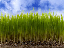 Green Grass and Blue Sky. Green grass on blue sky background Royalty Free Stock Photography