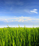 Green grass and blue sky. Green grass field against blue sky Stock Photography