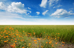 Green grass blue sky. Flower Stock Image