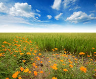 Green grass blue sky. Flower Stock Images