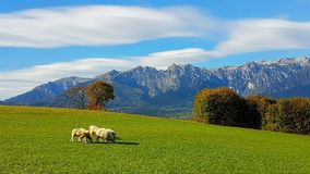 Sheeps grazing in the Pre-Alps (Feltre, Veneto, Italy). Green grass, blue sky, sheeps and mountains. What an alpine view Stock Images