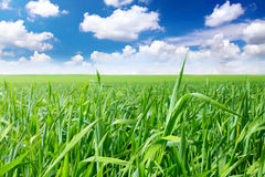 Green grass, the blue sky and white clouds Stock Photo