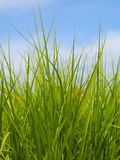 Green grass and the blue spring sky Royalty Free Stock Photo