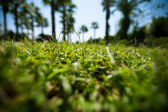 Green grass on blured palm trees background Royalty Free Stock Image