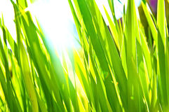 Green grass bokeh background. Green fresh grass bathed in sunlight. Nature in summer. Bokeh picture Stock Photo