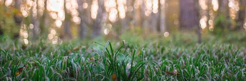 Green grass on bokeh at sunset background. With bokeh Royalty Free Stock Images