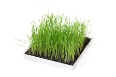 Green grass in a box Stock Images