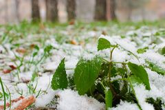 Green grass, branches and stems under the first snow. Details of autumn nature. The first snow in the park. Plants stock images
