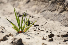 Green grass breaks through the sand Royalty Free Stock Photography