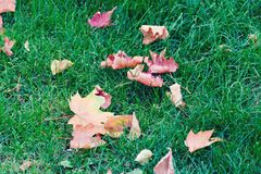 Green grass with bright autumn yellow-red leaves of maple. Autumn mood royalty free stock photo