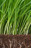 Green grass. Bright green grass with roots in the organic soil Royalty Free Stock Photos