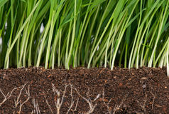 Green grass. Bright green grass with roots in the organic soil. Focus on the roots Stock Photos