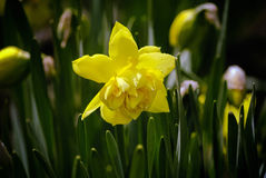 Among the green grass is a bright yellow daffodil flower. Stock Photography