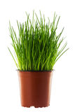 Green grass in a brown flower pot isolated on white background Stock Image