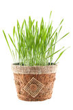 Green grass in brown pot isolated on white background Stock Photography