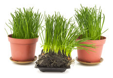 Green grass in brown pot, soil Stock Images