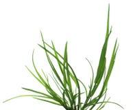 Green grass  bush Stock Image