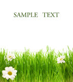 Green grass with camomiles Royalty Free Stock Image