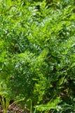 Green grass of carrots on garden bed Stock Photos