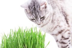 Green grass cat Royalty Free Stock Photos
