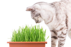 Green grass cat Royalty Free Stock Image