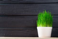 Green grass for cats and dog. Healing grass for pets in white pot on wood background. Space for text on black wooden background stock photography