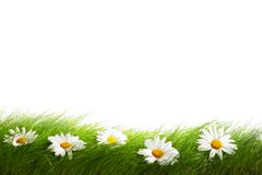 Green grass and chamomiles Royalty Free Stock Images