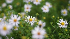 Green grass and chamomiles in the nature. Clip. Chamomile flowers on a green meadow stock photography