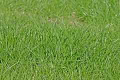 Green Grass of a Cheshire Lawn Royalty Free Stock Image