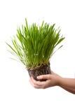 Green grass  in a children's hands Stock Photo