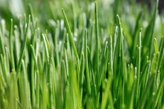 Green grass close-up Stock Photo