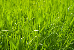 Green grass close-up. Background Stock Images