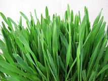 Green grass close-up. A green grass close-up on a white background Royalty Free Stock Photos
