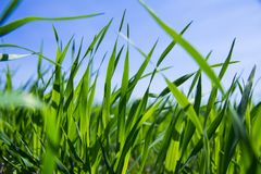 Green grass close up capture. Green grass close up image. Sprouts of agriculture & x28;wheat or oats& x29; on blue sky background Royalty Free Stock Photography
