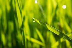 Green grass close-up with dew Royalty Free Stock Photography