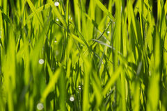 Green grass close-up with dew Stock Photos