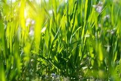 Green grass close-up Stock Image