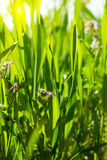 Green grass close-up Royalty Free Stock Photos