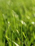 Green grass close-up growth concept Royalty Free Stock Image