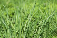 Green grass close-up. Grass in the park on a spring day close up. Stock Image
