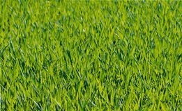 Green Grass Close Up Photograph Royalty Free Stock Photography