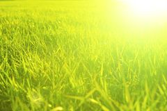 Green grass close-up in sunset. Summer or spring meadow. Nature background.  Royalty Free Stock Image
