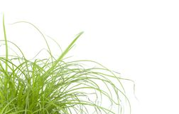 Green grass close up, on white background. Green grass, cat grass, close up, on white background, studio shot Royalty Free Stock Photography