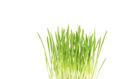 Green grass close up, on white background. Green grass, cat grass, close up, on white background, studio shot Stock Images