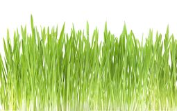 Green grass close up, on white background. Green grass, cat grass, close up, on white background, studio shot Stock Image
