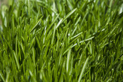 Green grass close up. Young green sprout Royalty Free Stock Photos