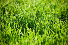 Green grass closeup Stock Photography